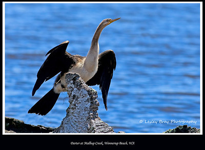 Female Australasian Darter, Anhinga novaehollandiae, at Malbup Creek Bird Hide, Wonnerup Beach, Western Australia.  Photographed November 2011 - © 2011 Lesley Bray Photography - All Rights Reserved.