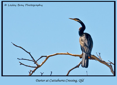 Male Australasian Darter, Anhinga novaehollandiae, at Cuttaburra Crossing on the Eyre Developmental Road, Queensland, Australia.  Photographed September 2010 - © 2010 Lesley Bray Photography - All Rights Reserved.