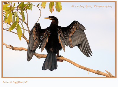 Male Australasian Darter, Anhinga novaehollandiae, drying his wings at Fogg Dam, Middle Point, Northern Territory, Australia.  Photographed December 2012 - © 2012 Lesley Bray Photography - All Rights Reserved.