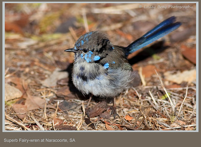Moulting male Superb Fairy-wren, Malurus cyaneus, at Naracoorte, South Australia.  Photographed February 2012 - © 2012 Lesley Bray Photography - All Rights Reserved.