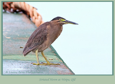 Striated Heron, Butorides stratus, at the wharf, Evans Landing, Weipa, Cape York, Queensland, Australia.    Photographed January 2012 - © 2012 Lesley Bray Photography - All Rights Reserved