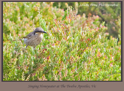 Singing Honeyeater, Lichenostomus virescens, beside the path at The Twelve Apostles, Victoria, Australia.  Photographed February 2012 - © 2012 Lesley Bray Photography - All Rights Reserved.
