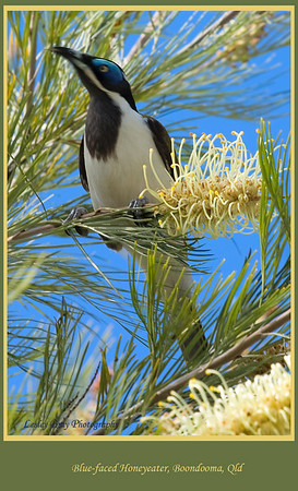 Blue-faced Honeyeater, Entomyzon cyanotis