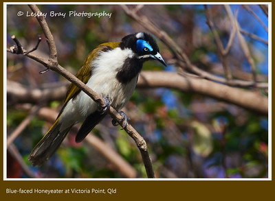 Blue-faced Honeyeater, Entomyzon cyanotis, at Victoria Point, Redland, Queensland, Australia. Sub species: cyanotis.  Photographed November 2012 - © 2012 Lesley Bray Photography - All Rights Reserved.