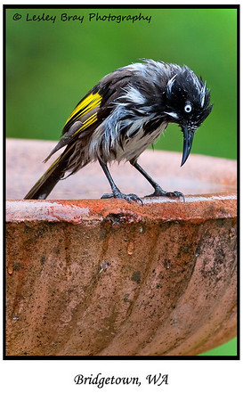 Where's my towel !! New Holland Honeyeater, Phylidonyris novaehollandiae, at Bridgetown, Western Australia.  Photographed November 2011 - © 2011 Lesley Bray Photography - All Rights Reserved.