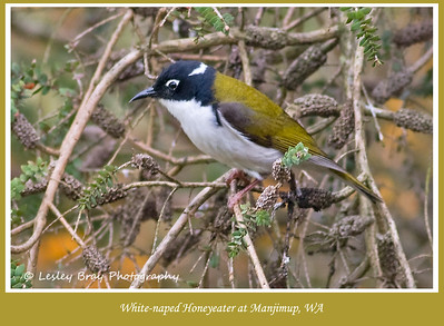 White-naped Honeyeater, Melithreptus lunatus, at the Timber & Heritage Park, Manjimup, Western Australia.  Photographed October 2011 - © 2011 Lesley Bray Photography - All Rights Reserved.