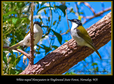 White-naped Honeyeaters, Melithreptus lunatus, Tingle State Forest, Nornalup, Western Australia.  Photographed October 2011 - © 2011 Lesley Bray Photography - All Rights Reserved.