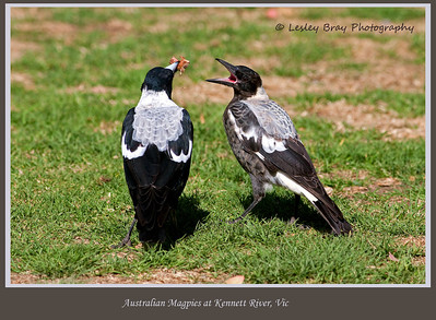 Lunch time !  Magpie, Gymnorhina tibicen, feeding its young one at Kennett River, Victoria, Australia.  The markings on these magpies are different from those we see in the north.  They also appear to be a larger bird.  Photographed February 2012 - © 2012 Lesley Bray Photography - All Rights Reserved.