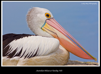 Breeding colours in bill.  Australian Pelican, Pelecanus conspicillatus, at Loch McNess, Yanchep National Park, Western Australia.  Photographed September 2011 - © 2011 Lesley Bray Photography - All Rights Reserved.