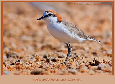 Male Red-capped Plover, Charadrius ruficapillus, at Lake Indoon, Western Australia.  Photographed January 2012 - © 2012 Lesley Bray Photography - All Rights Reserved.
