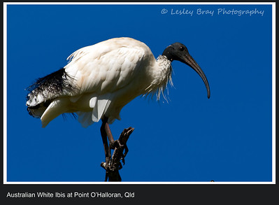 Australian White Ibis, Threskiornis molucca, at Point O'Halloran Conservation Area, Redland, Queensland, Australia.  Photographed April 2012 - © 2012 Lesley Bray Photography - All Rights Reserved.