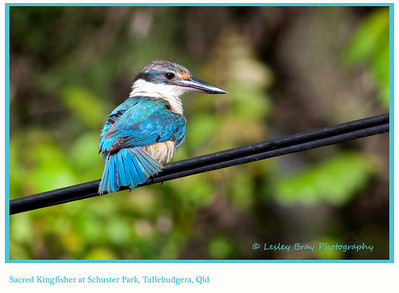 Sacred Kingfisher, Todiramphus sanctus, near the entrance to Schuster Park, Tallebudgera, Gold Coast, Queensland, Australia.   Photographed January 2013 - © 2013 Lesley Bray Photography - All Rights Reserved.