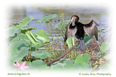 Australian Darter, Anhinga novaehollandiae, at Fogg Dam, Middle Point, Darwin, Northern Territory, Australia.  Photographed December 2012 - © 2012 Lesley Bray Photography - All Rights Reserved.