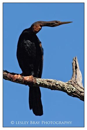 Male Australasian Darter
