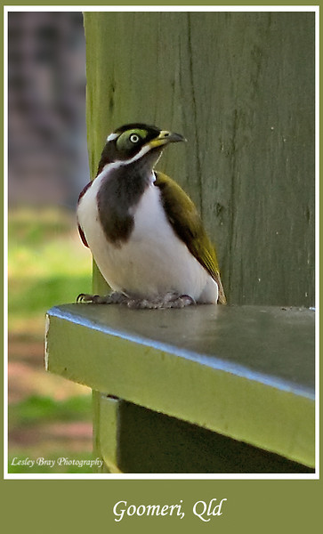 Immature Blue-faced Honeyeater